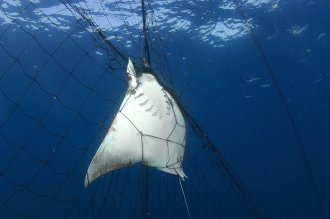 Mexico: shark fishing, Thresher shark and rays caught in gill net